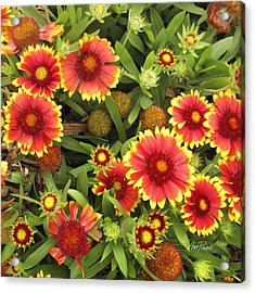 Blanket Flowers  One - Photography Acrylic Print by Ann Powell