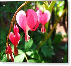 Bleeding Heart Acrylic Print by Brittany H