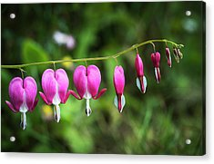 Bleeding Heart  Lamprocapnos Acrylic Print by Robert L. Potts