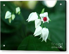 Bleeding Heart Vine Blossom Acrylic Print by Floyd Menezes