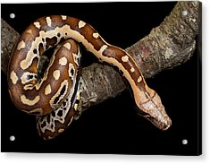 Blood Python Python Brongersmai Acrylic Print by David Kenny