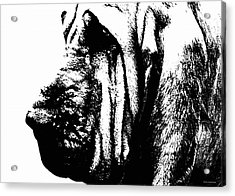 Bloodhound - It's Black And White - By Sharon Cummings Acrylic Print by Sharon Cummings