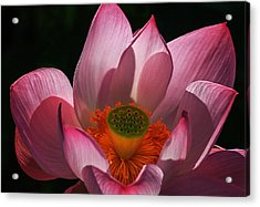 Bloom Acrylic Print by Robert Pilkington