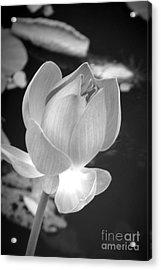 Bloom Acrylic Print by Shawna Gibson