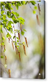 Blooming Birch Tree Acrylic Print by Jenny Rainbow