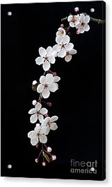 Blossom On Black Acrylic Print by Tim Gainey