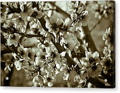Blossoms Acrylic Print by Frank Tschakert