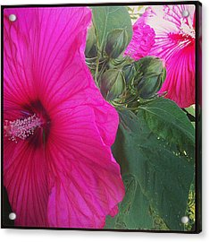 Blosssoms And Buds Hibiscus  Acrylic Print by Brittany Perez