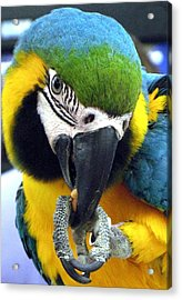 Blue And Gold Macaw With A Peanut Acrylic Print by  Andrea Lazar