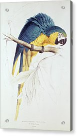 Blue And Yellow Macaw Acrylic Print by Edward Lear