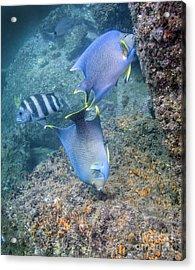 Blue Angelfish Feeding On Coral Acrylic Print by Michael Wood