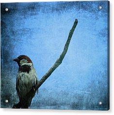 Sparrow On Blue Acrylic Print by Dan Sproul