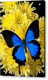 Blue Butterfly On Poms Acrylic Print by Garry Gay