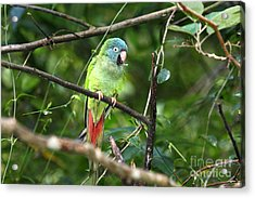 Blue Crowned Parakeet Acrylic Print by James Brunker