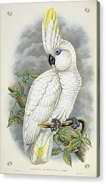 Blue-eyed Cockatoo Acrylic Print by William Hart