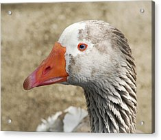 Blue-eyed Goose Acrylic Print by Bob and Jan Shriner