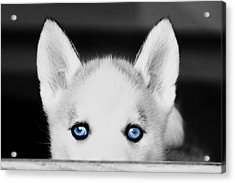 Blue Eyed Huskie Acrylic Print by Susan Stone