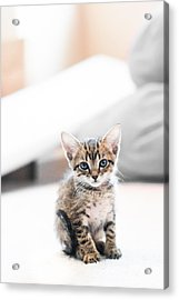 Blue Eyed Kitten Acrylic Print by Shelby  Young