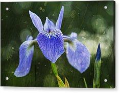 Blue Flag Iris _iris Versicolor__ Acrylic Print by Julie DeRoche