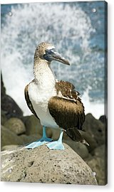 Blue-footed Booby Acrylic Print by Daniel Sambraus