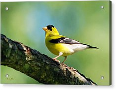 Blue Heart Goldfinch Acrylic Print by Christina Rollo