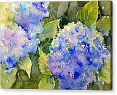 Blue Hydrangea Acrylic Print by Cynthia Roudebush