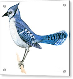 Blue Jay  Acrylic Print by Anonymous