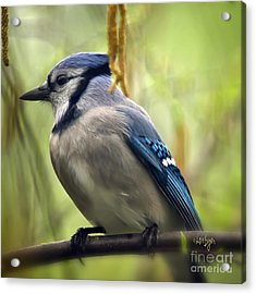 Blue Jay On A Misty Spring Day - Square Format Acrylic Print by Lois Bryan
