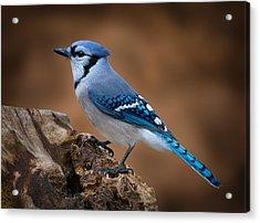 Blue Jay Acrylic Print by Steve Zimic