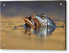 Blue Love ... Mating Moor Frogs  Acrylic Print by Roeselien Raimond
