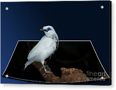 Blue Mask Bandit Bird Acrylic Print by Thomas Woolworth