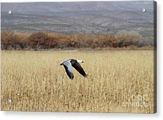 Blue Morph In Flight Acrylic Print by Ruth Jolly