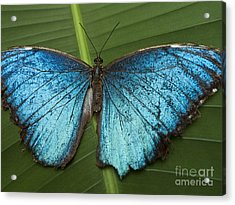 Blue Morpho - Morpho Peleides Acrylic Print by Heiko Koehrer-Wagner