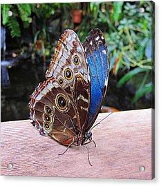 Blue Morpho Acrylic Print by MTBobbins Photography