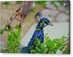 Blue Peacock Green Plants Acrylic Print by Jonah  Anderson
