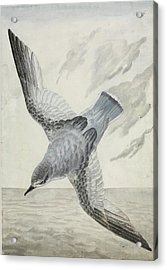Blue Petrel Acrylic Print by Natural History Museum, London