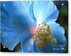 Blue Poppy Acrylic Print by Carol Groenen