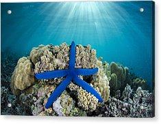 Blue Sea Star Fiji Acrylic Print by Pete Oxford