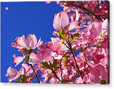 Blue Sky Art Prints Pink Dogwood Flowers Acrylic Print by Baslee Troutman