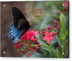 Blue Swallowtail Butterfly  Acrylic Print by Saija  Lehtonen
