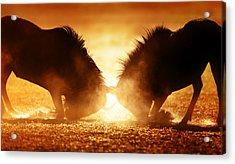 Blue Wildebeest Dual In Dust Acrylic Print by Johan Swanepoel