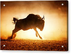 Blue Wildebeest Running In Dust Acrylic Print by Johan Swanepoel