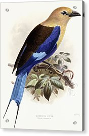 Bluebellied Roller Acrylic Print by Johan Gerard Keulemans