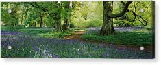 Bluebells In A Forest, Thorp Perrow Acrylic Print by Panoramic Images