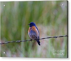 Bluebird On A Wire Acrylic Print by Mike  Dawson