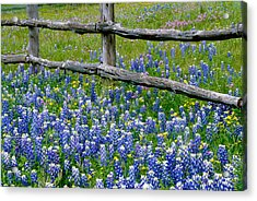 Bluebonnet Flowers Blooming Acrylic Print by Panoramic Images
