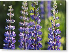 Bluebonnet Lupine _lupinus Acrylic Print by Carl Bruemmer