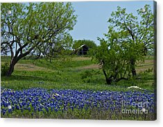 Bluebonnets And Old Barn Acrylic Print by Lisa Holmgreen