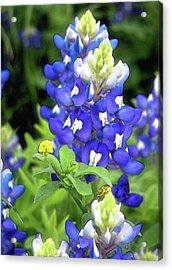 Bluebonnets Blooming Acrylic Print by Stephen Anderson