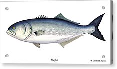 Bluefish Acrylic Print by Charles Harden